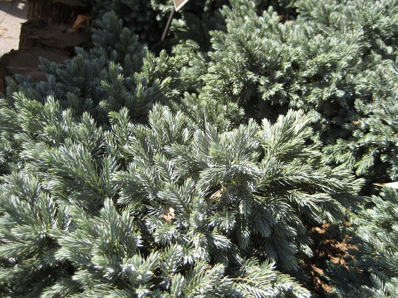 juniperus-squamata-blue-star-07.jpg