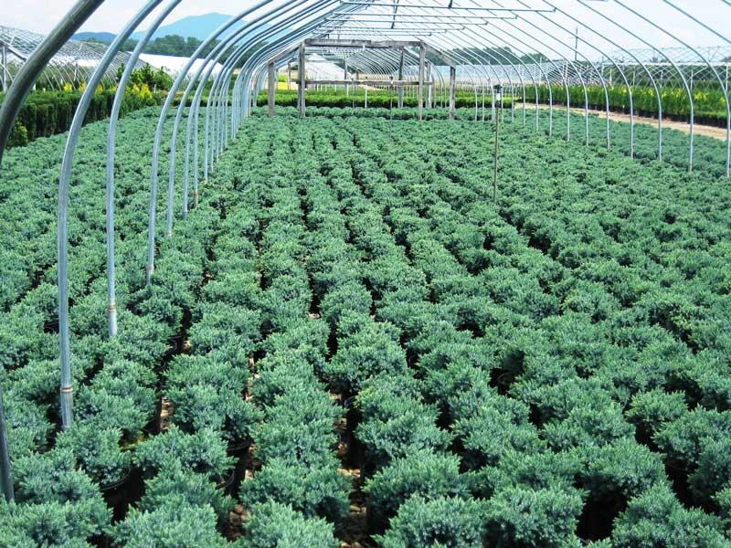 juniperus-squamata-blue-star-08.jpg