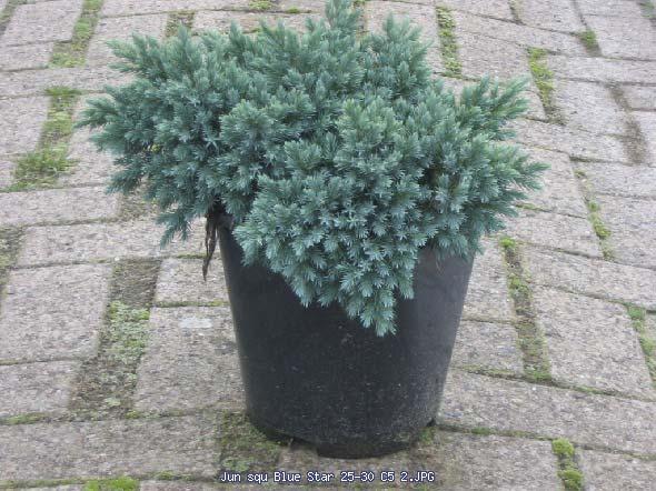 juniperus-squamata-blue-star-09.jpg