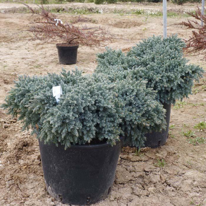 juniperus-squamata-blue-star-10.jpg