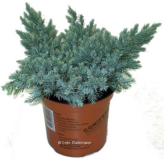 juniperus-squamata-blue-star-11.jpg