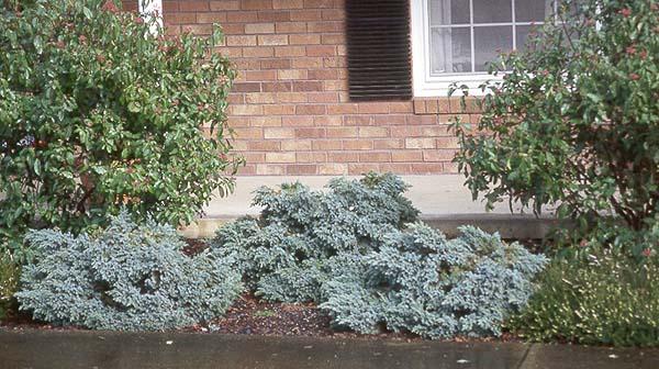 juniperus-squamata-blue-star-12.jpg