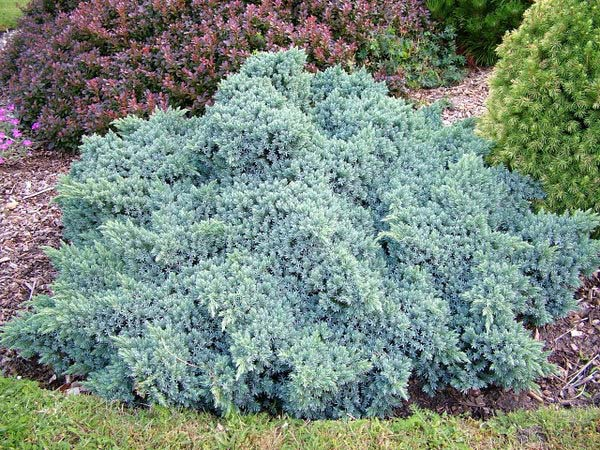juniperus-squamata-blue-star-13.jpg