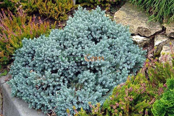 juniperus-squamata-blue-star-14.jpg