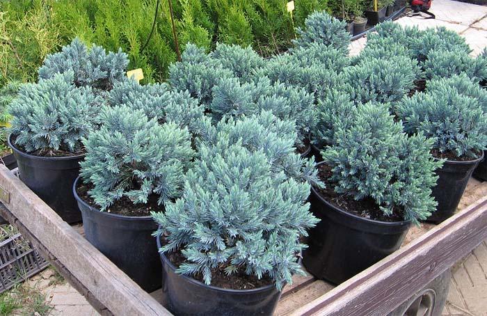 juniperus-squamata-blue-star-15.jpg