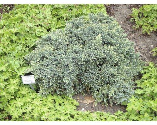 juniperus-squamata-blue-star-17.jpg