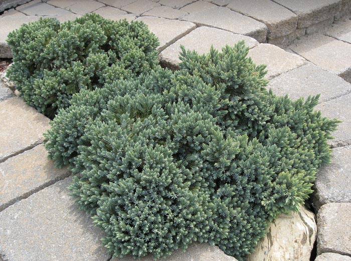 juniperus-squamata-blue-star-18.jpg