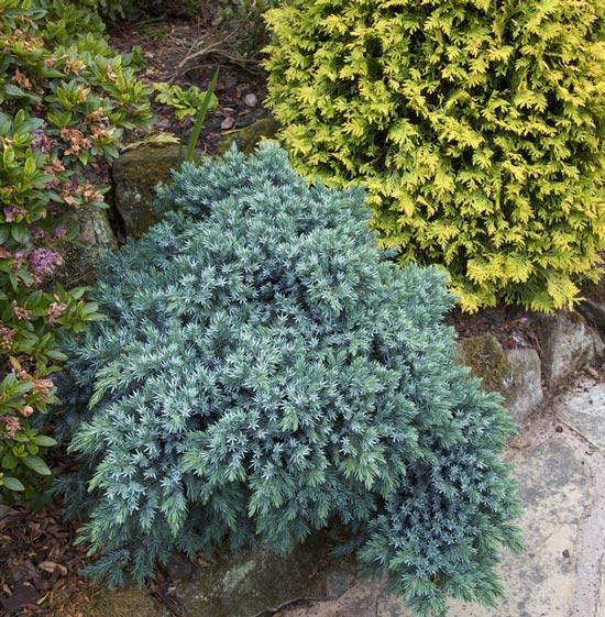 juniperus-squamata-blue-star-20.jpg
