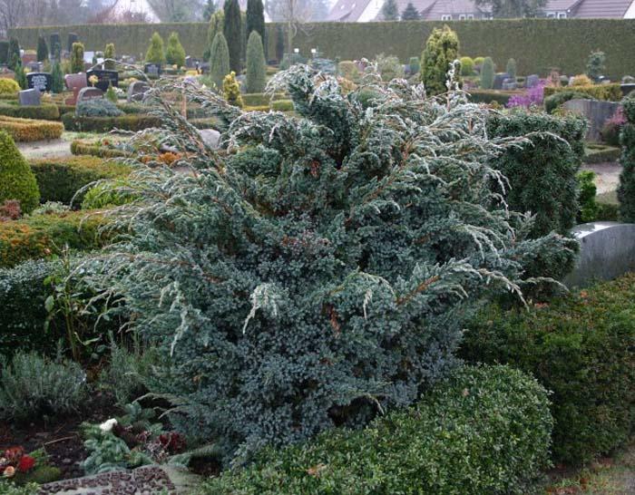 juniperus-squamata-meyeri-01.jpg