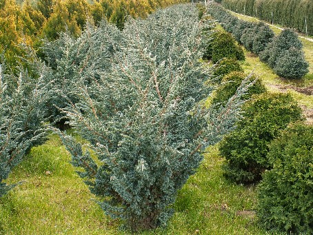 juniperus-squamata-meyeri-03.jpg
