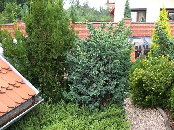 juniperus-squamata-meyeri-04.jpg