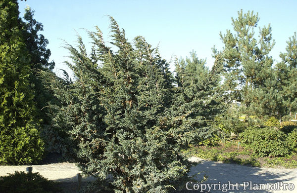 juniperus-squamata-meyeri-05.jpg