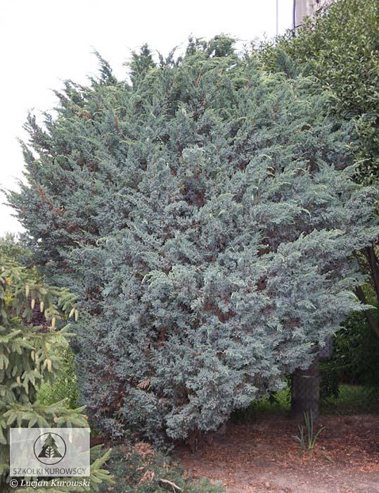 juniperus-squamata-meyeri-06.jpg