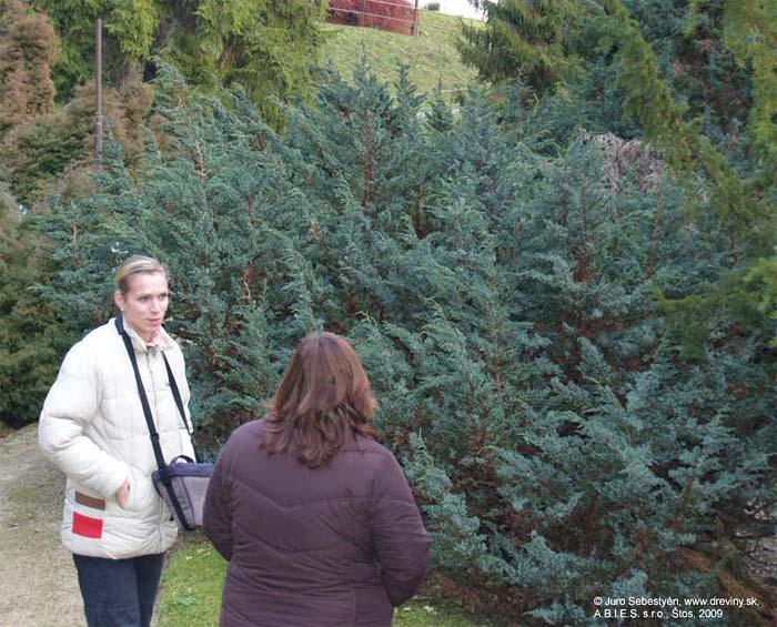 juniperus-squamata-meyeri-07.jpg