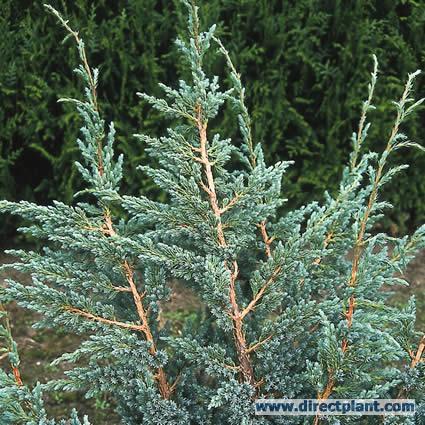 juniperus-squamata-meyeri-08.jpg