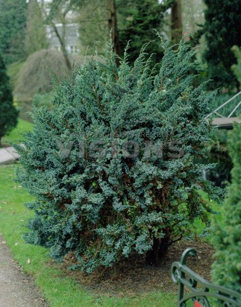 juniperus-squamata-meyeri-09.jpg
