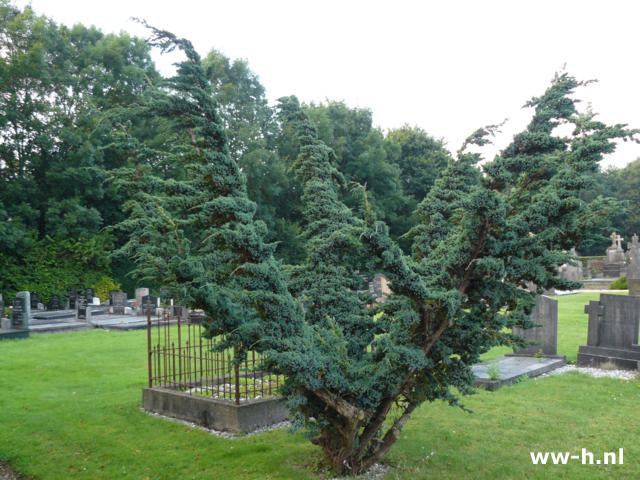 juniperus-squamata-meyeri-11.jpg