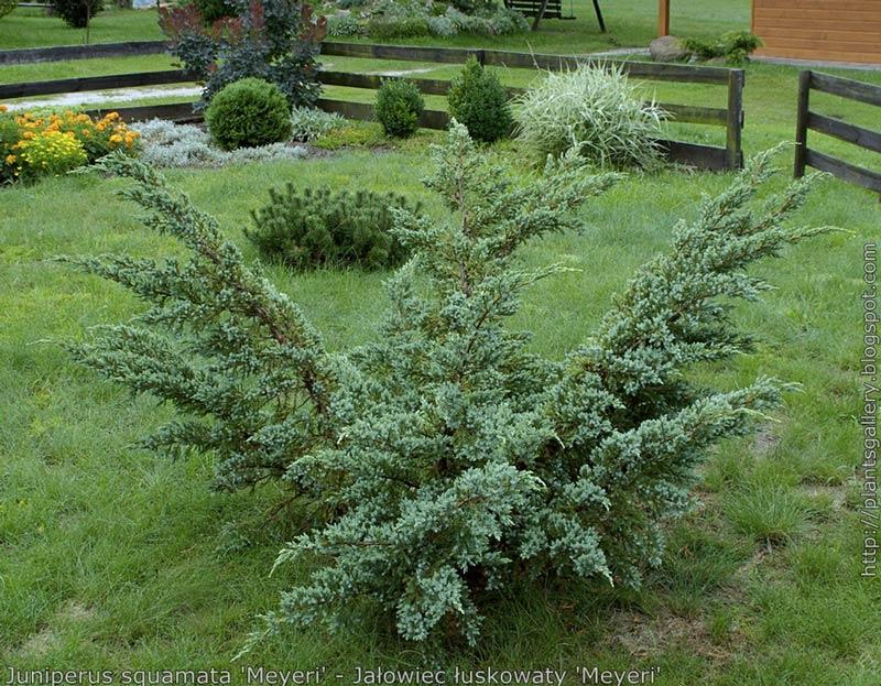 juniperus-squamata-meyeri-13.jpg