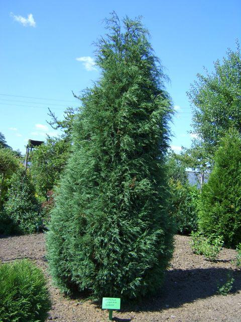 juniperus-virginiana-glauca-01.jpg