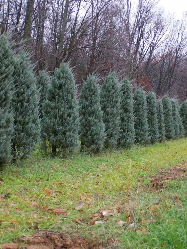 juniperus-virginiana-glauca-03.jpg
