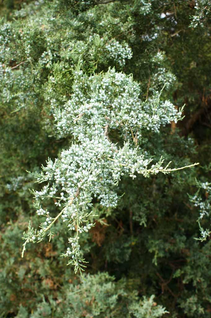 juniperus-virginiana-glauca-04.jpg