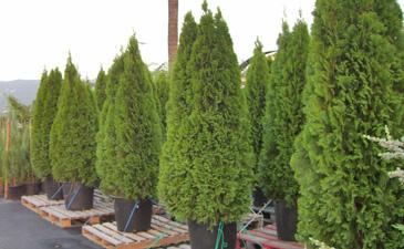 juniperus-virginiana-glauca-06.jpg