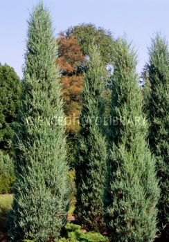 juniperus-virginiana-skyrocket-01.jpg