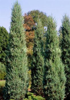 juniperus-virginiana-skyrocket-01.jpg
