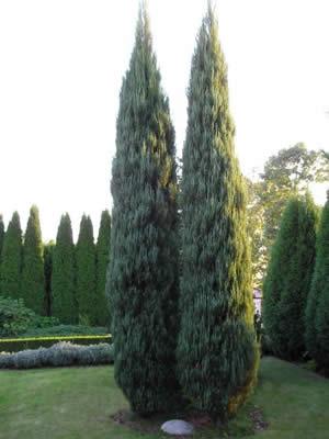 juniperus-virginiana-skyrocket-02.jpg