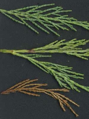 juniperus-virginiana-skyrocket-03.jpg