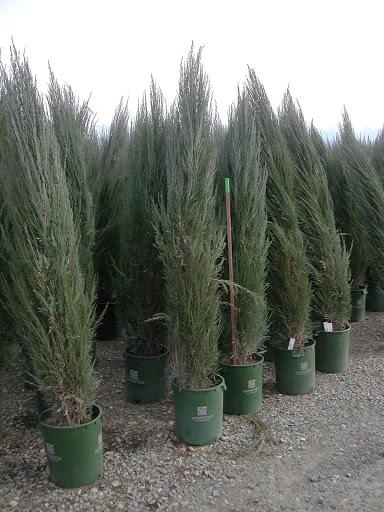 juniperus-virginiana-skyrocket-05.jpg