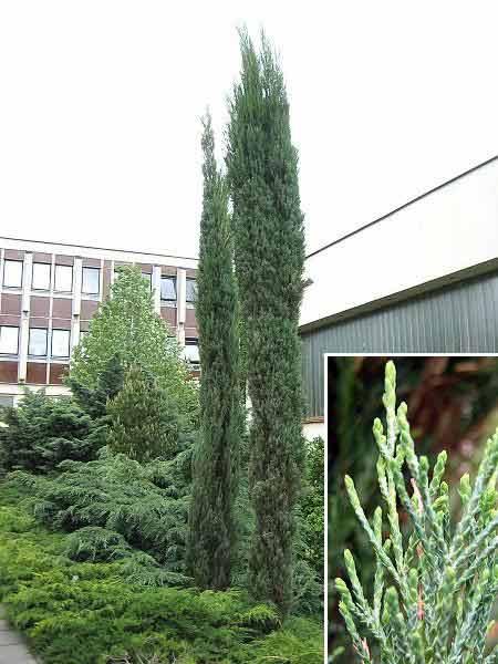 juniperus-virginiana-skyrocket-06.jpg
