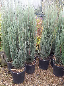 juniperus-virginiana-skyrocket-08.jpg