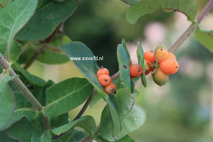 lonicera-caprifolium-03.jpg