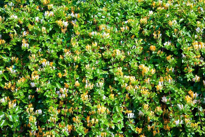 lonicera-caprifolium-05.jpg
