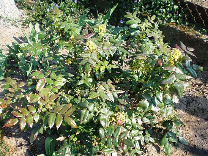 mahonia-aquifolium-apollo-01.jpg