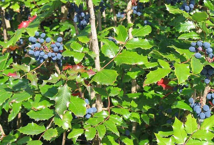 mahonia-aquifolium-apollo-03.jpg