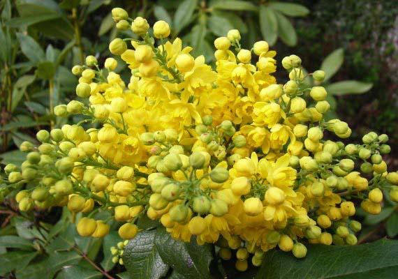 mahonia-aquifolium-apollo-04.jpg