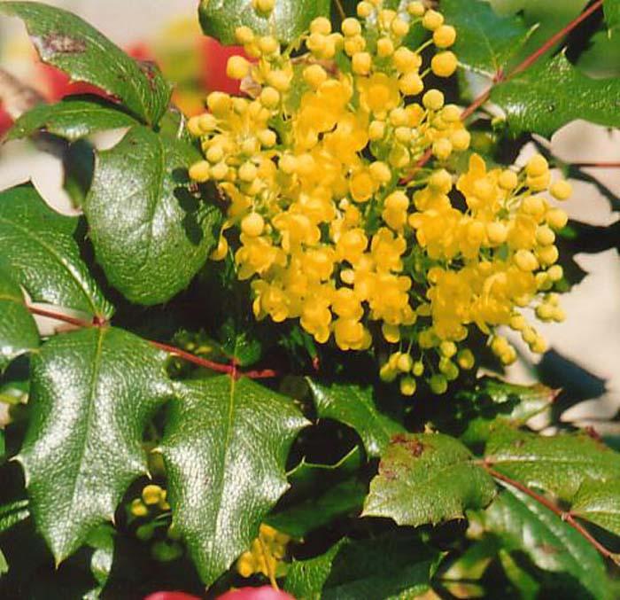 mahonia-aquifolium-apollo-05.jpg