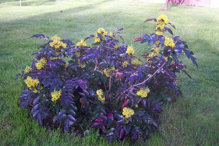 mahonia-aquifolium-apollo-06.jpg