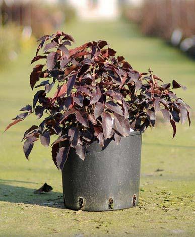 mahonia-aquifolium-apollo-07.jpg