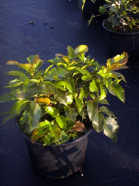 mahonia-aquifolium-apollo-08.jpg