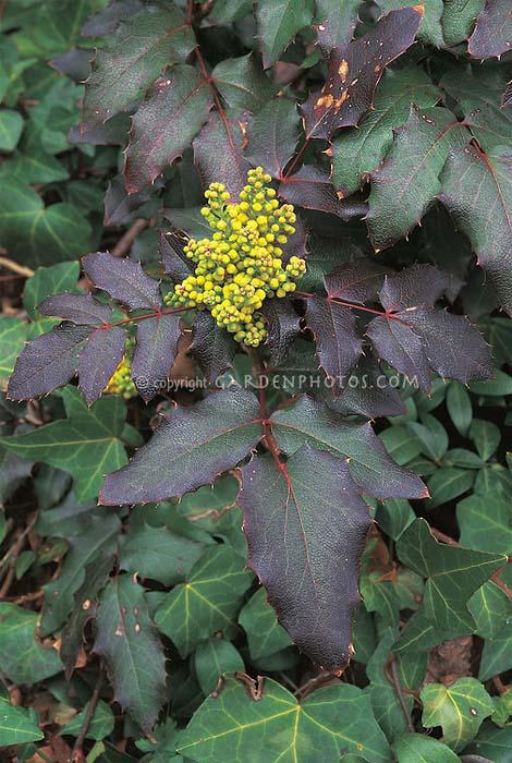 mahonia-aquifolium-atropurpurea-01.jpg