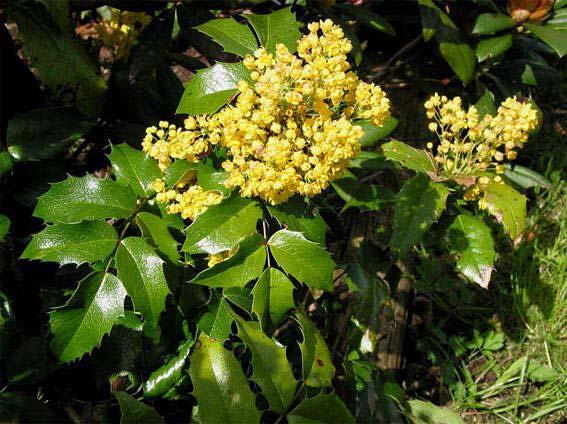 mahonia-aquifolium-atropurpurea-02.jpg