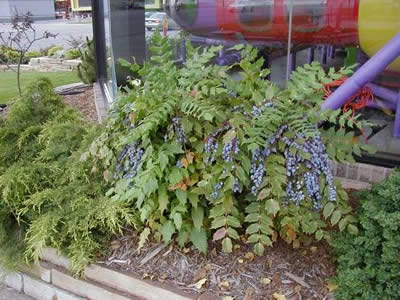 mahonia-aquifolium-01.jpg
