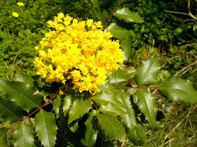 mahonia-aquifolium-02.jpg