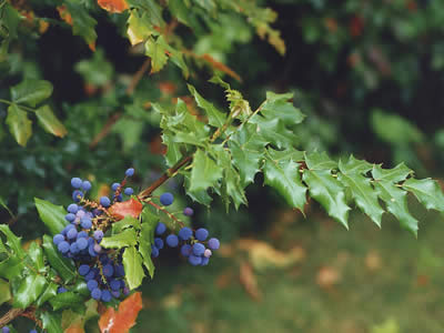 mahonia-aquifolium-03.jpg
