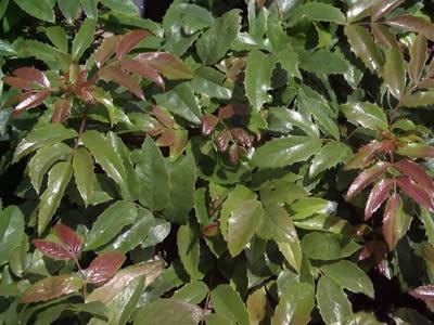 mahonia-aquifolium-05.jpg