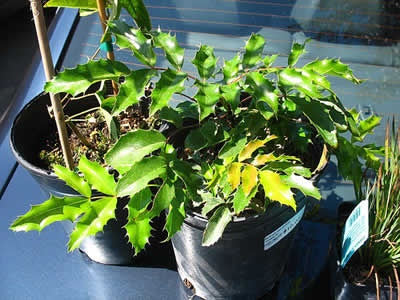 mahonia-aquifolium-06.jpg