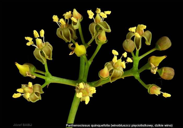 parthenocissus-quinquefolia-02.jpg